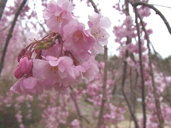 20110420sakura.jpg